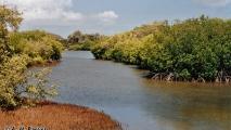 Mangrove Bos