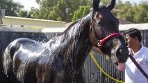 Meydan stal, een paard wordt gedouched na een workout