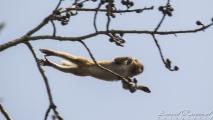 Vliegende aap