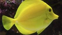 Gele zeilvindoktersvis