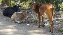 Indische koeien