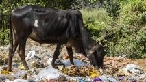 Indische koe