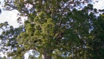 Kauri boom in het Waipoua Kauri Forest
