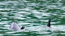 Dolfijn komt boven om adem te halen