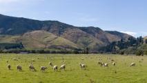 Een wei vol met schapen