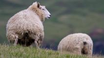 Typisch Nieuw-Zeelands schaap