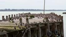 Heel veel aalscholvers in de haven van Oamaru
